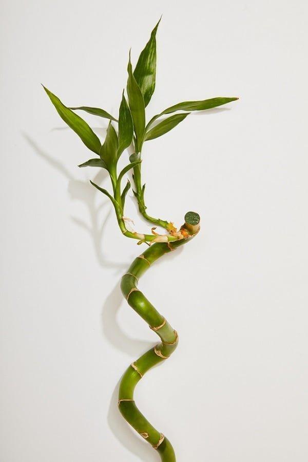 budding bamboo