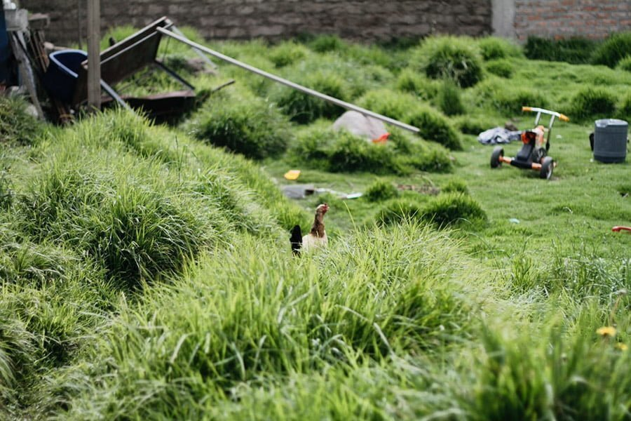 No-mow grass